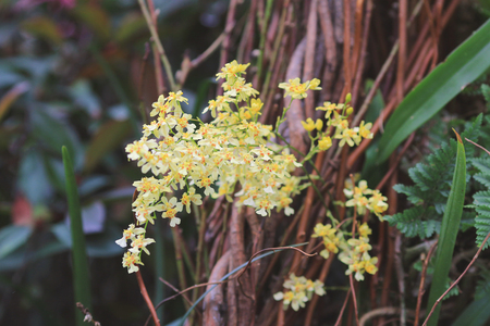 orchidaceae: the yellow Orchidaceae at nature Stock Photo