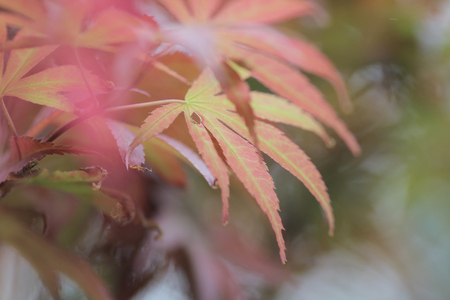 acer palmatum: the Japanese Maple Acer palmatum with nature