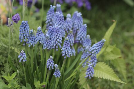 hyacinthus: the blue color of Hyacinthus Orientalis