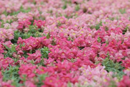 antirrhinum majus: the Antirrhinum majus in garden at nature