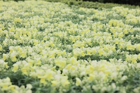 antirrhinum majus: the Antirrhinum majus at flower bed Stock Photo