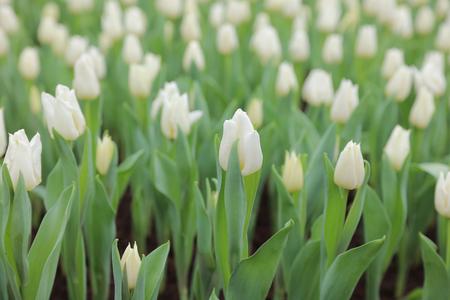flower show: the white Tulip flower at flower show