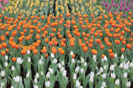 flower show: the tulip flower field at hk flower show 2016