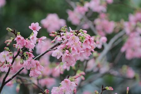 tender tenderness: the cerasus campanulata at hong kong TKO Stock Photo