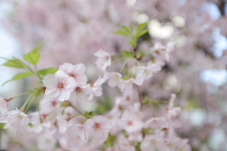 tender tenderness: the Spring Cherry blossoms at japan
