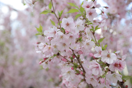the Spring Cherry blossoms at japan