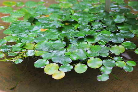 lilia: the water lily flowers in pond Stock Photo
