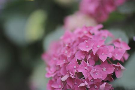 hydrangea macrophylla: the French hydrangea Hydrangea macrophylla