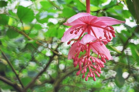 blowers: Melastomataceae, pink flowers in the green rainforrest Stock Photo