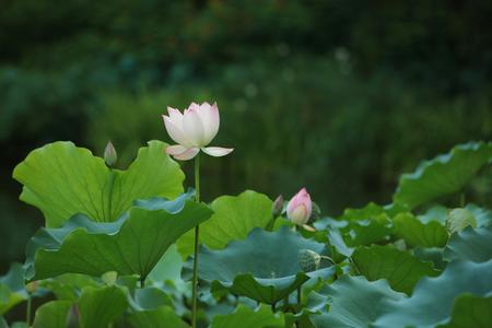 soumis: Le beau lotus floraison