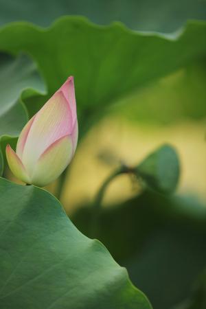 soumis: le rose bourgeon de fleur de lotus dans un étang 2016