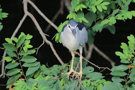 gray herons: the Black-crowned Night Heron