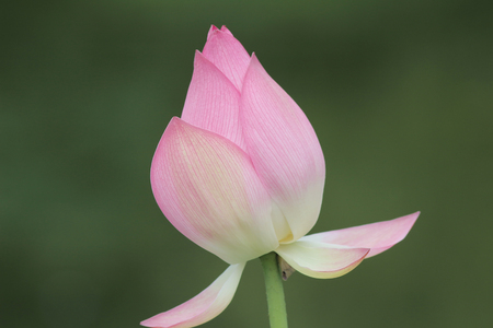 Lotus bloomming at green leaves background Stock Photo