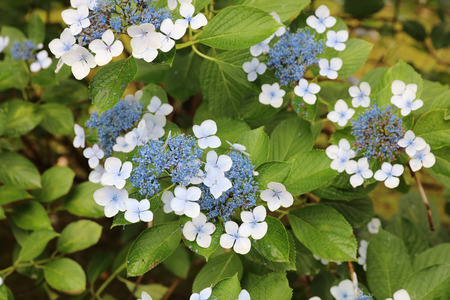 the hydrangea blue hydrangeas summer