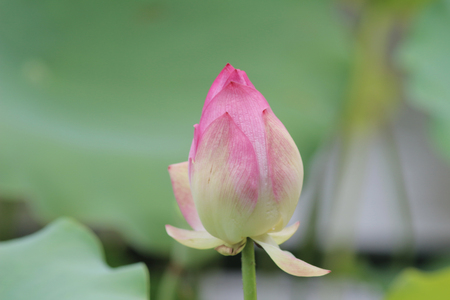 nelumbo nucifera: Lotus bloomming at green leaves background Stock Photo