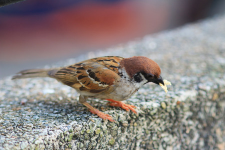 the Tree sparrow (Passer montanus) at nature