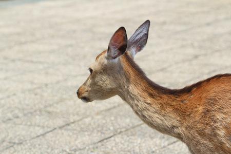 A Deer Of Miyajimia Area