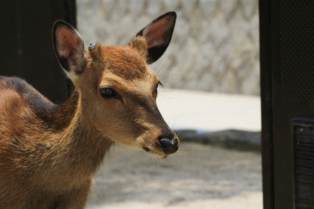 the torii Of Miyajima And Deer Stock Photo