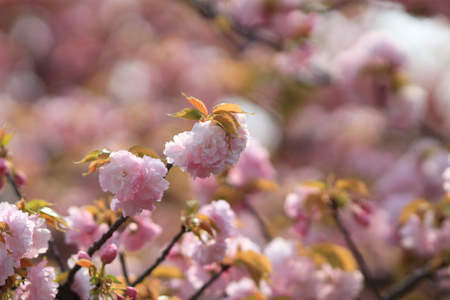pleasent: the Weeping cherry at osaka japan on april