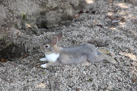 hiroshima: the animal at Okunoshima, Hiroshima, Japan Stock Photo