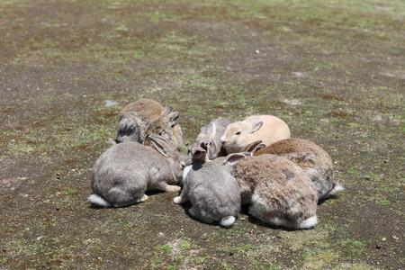 hiroshima: the rabbit at Okunoshima, Hiroshima, Japan