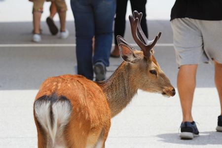 animal only: A Deer Of Miyajimia Area