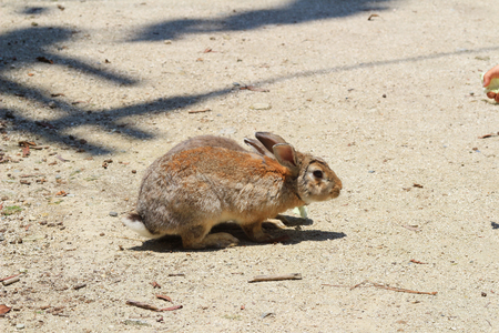 hiroshima: the bunny at  Okunoshima, Hiroshima, Japan