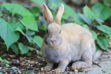 Cute Rabbit at  Okunoshima, Hiroshima