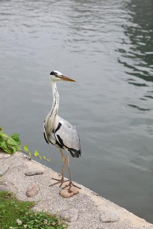 herodias: the Great  Heron Caught a Fish Stock Photo