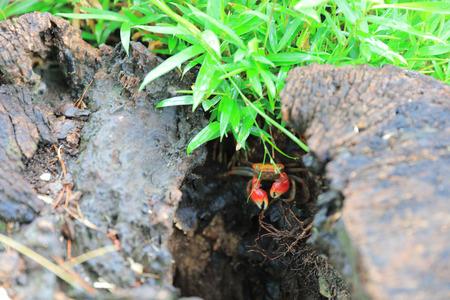 red crab at garden at japan