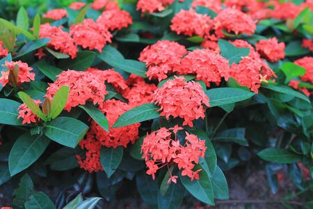 the group of Ixora chinensis of flower bed
