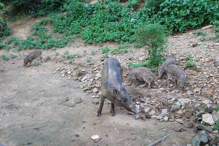 wild boar: the Wild boar out in the open Stock Photo