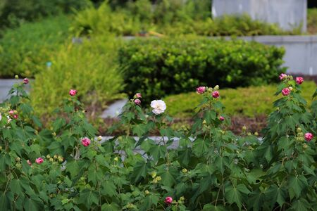 Hibiscus mutabilis or Confederate rose or Dixie rosemallow or the cotton rosemallow flower