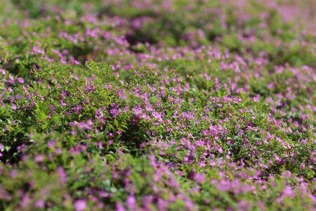 the Gypsophila (Babys-breath flowers), light, airy masses Stock Photo