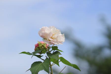 photo story: Cotton rose hibiscus, Confederate rose, Confederate rose mallow