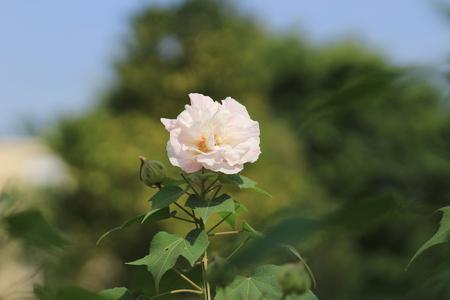 Cotton rose hibiscus, Confederate rose, Confederate rose mallow
