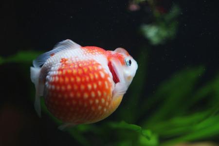 carassius auratus: the Red and gold fishes in aquarium