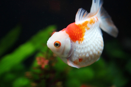 the Red and gold fishes in aquarium