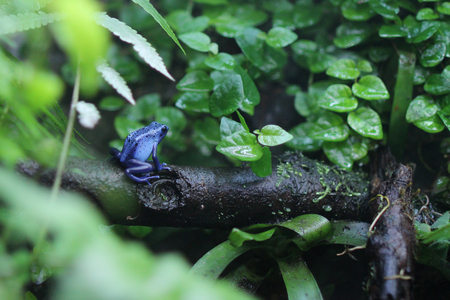 Blue poison dart frog climbing up a tree.