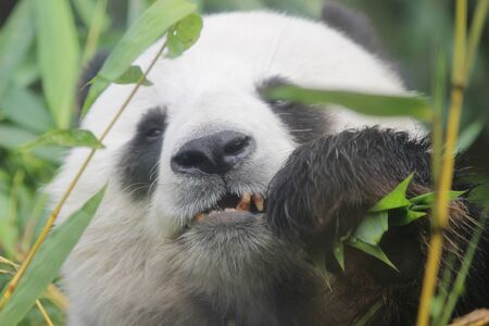 the Portrait of giant panda bear eating bamboo