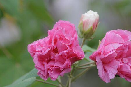 Hibiscus mutabilis or Confederate rose or Dixie rosemallow Stock Photo