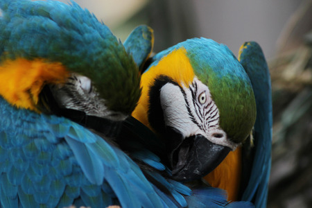 guacamaya: the Macaw Birds Scarlet Macaw Ara ararauna