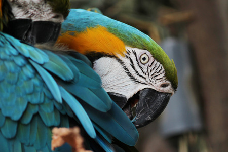 ararauna: the Macaw Birds Scarlet Macaw Ara ararauna