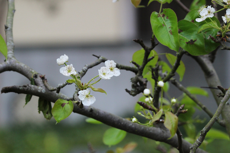 flower blossoms of the Japanese ume apricot tree, prunus mume