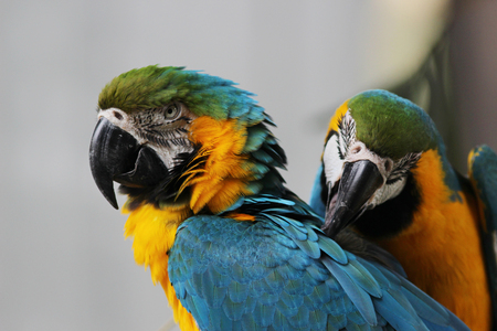 periquito: la ararauna los pájaros del Macaw del escarlata Macaw Ara Foto de archivo