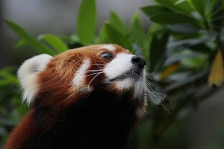 endangered species: the Little red panda, endangered species