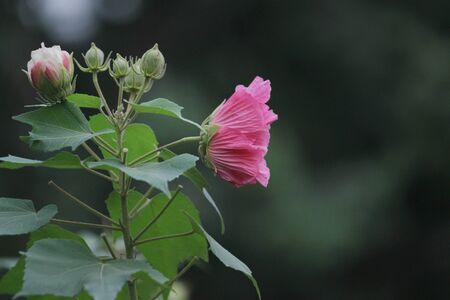 the Pink beautiful flower, Hibiscus mutabilis 2016