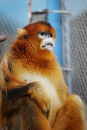 Ocean Park announced the loss of a Golden Snub nosed Monkey