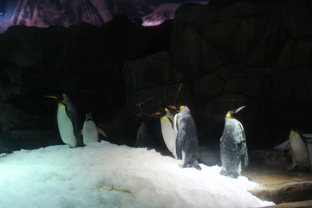 king penguins: the King penguins Aptenodytes patagonicus 2016