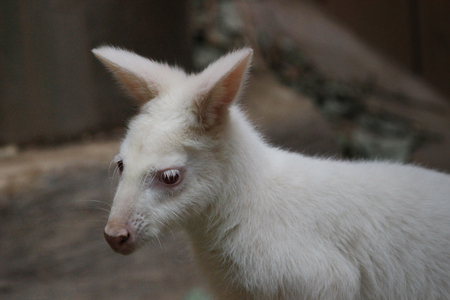 the albino bennetts wallaby of Macropus rufogriseus Stock Photo